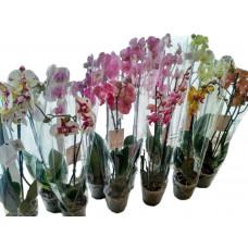 Орхидеи в ассортименте