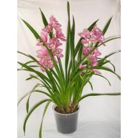 """Орхидея (в ассортименте) """"Цимбидиум"""""""