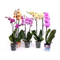 """Орхидея (в ассортименте) """"Фаленопсис"""""""