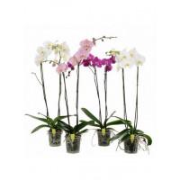 """Орхидея (в ассортименте) """"Фаленопсис""""  Сортовая 90 см"""