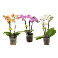 """Орхидея (в ассортименте) """"Фаленопсис"""" Мини"""